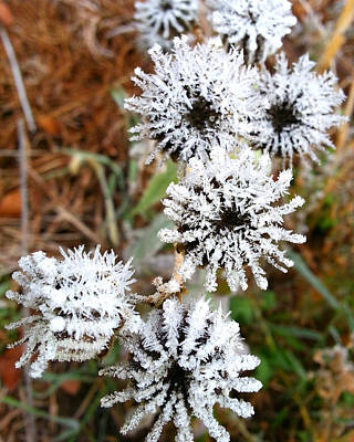 Buttonweed Photograph - Frosty Buttonweed by Brook Burling