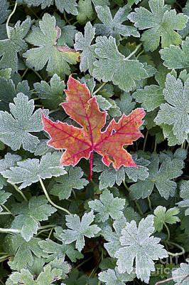 Frosty Maple Leaf Print by Tim Gainey