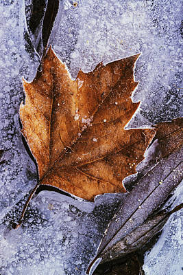 Outdoor Still Life Photograph - Frozen Leaf by Vishwanath Bhat