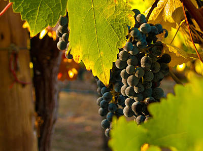 Vineyard Photograph - Fruit Of The Vine by Bill Gallagher
