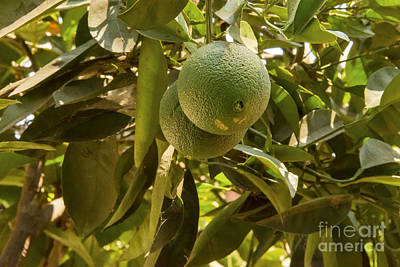 Sattui Photograph - Fruit Tree by Bob Phillips