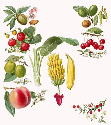Berry Drawing - Fruits by English School
