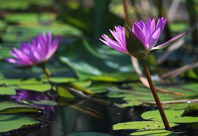 Fuchsia Water Lilies Iv Original by Suzanne Gaff