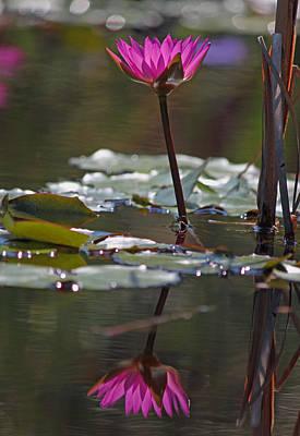Fuchsia Water Lily Xi Original by Suzanne Gaff