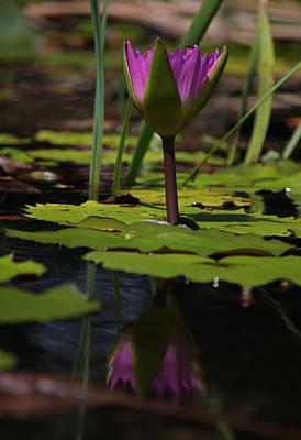 Fuchsia Water Lily Xiii Original by Suzanne Gaff