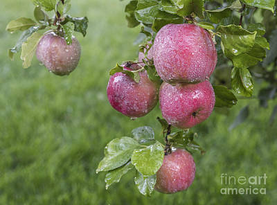 Fuji Apples Ready To Be Picked Print by Vishwanath Bhat