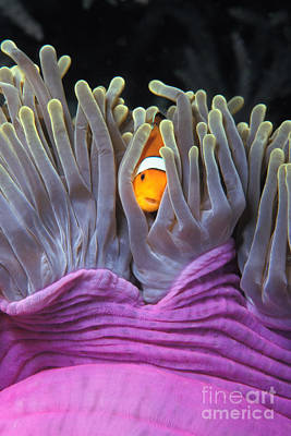 Clown Anemonefish Photograph - Fun Tropical Clownfish Nemo Image Bright And Colorful Home Or Office Decor by Brandon Cole