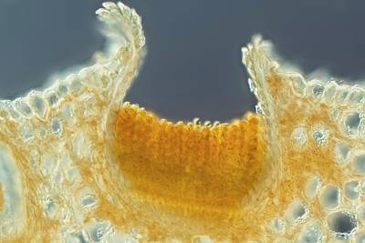 Fungal Rust Print by Gerd Guenther
