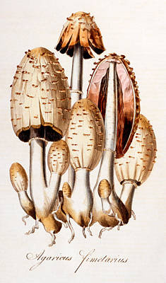 Mushroom Painting - Fungi by English School