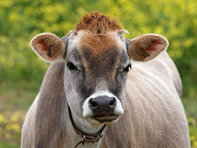 Jersey Cow Photograph - Funny Jersey Cow - Horizontal by Gill Billington