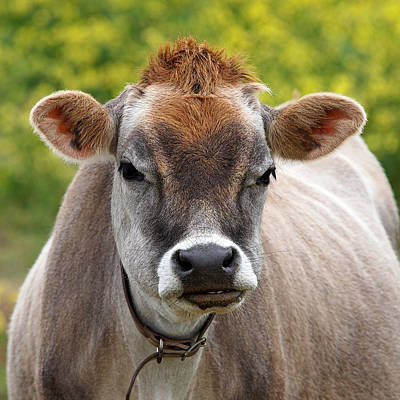Jersey Cow Photograph - Funny Jersey Cow -square by Gill Billington
