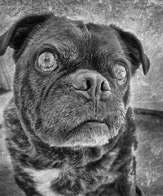 Funny Pug Print by Larry Marshall