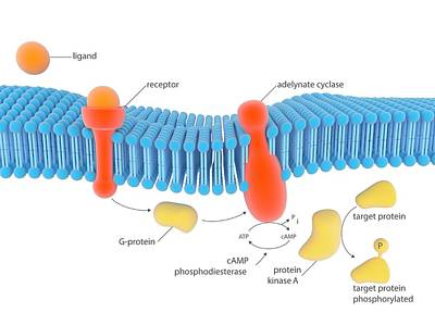 Adenosine Photograph - G-protein-linked Receptor by Science Photo Library