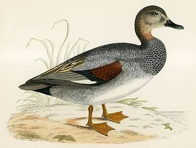 Duck Drawing - Gadwall by Beverley R Morris
