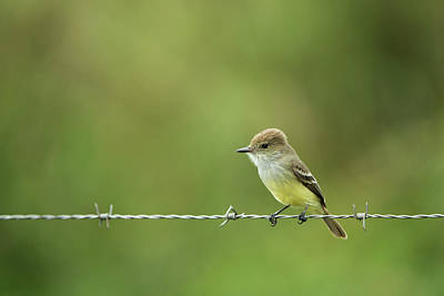 Flycatcher Photograph - Galapagos Flycatcher (myiarchus by Pete Oxford