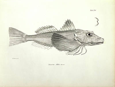 Beagle Photograph - Galapagos Gurnard by Natural History Museum, London