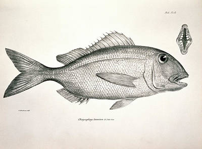 Beagle Photograph - Galapagos Porgy by Natural History Museum, London