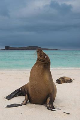 Galapagos Sea Lions Gardner Bay Print by Pete Oxford