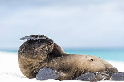 Galapagos Sea Lion Pup Covering Face Print by Tui De Roy