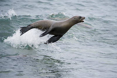 Photograph - Galapagos Sea Lion Surfing  Mosquera by Tui De Roy