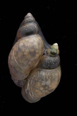 Hepatica Photograph - Galba Truncatula by Sinclair Stammers