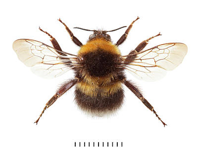 Garden Bumblebee Print by Natural History Museum, London