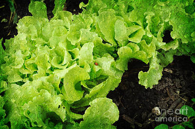 Lettuce Mixed Media - Garden Fresh Baby Lettuce And Lady Bug by Andee Design