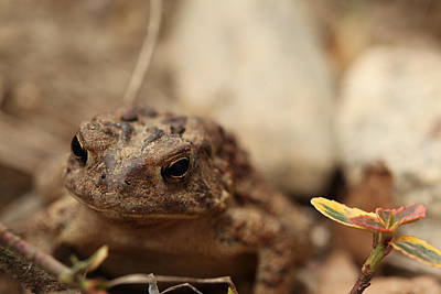 Garden Frog Print by Karol Livote