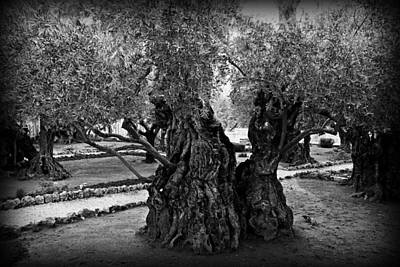 Garden Of Gethsemane Olive Tree Print by Stephen Stookey