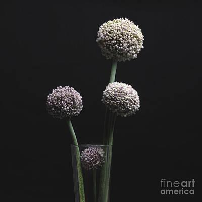 Flower Ring Photograph - Garlic Flowers. Allium. by Bernard Jaubert