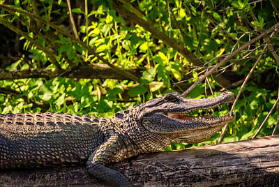 Alligator Bayou Photograph - Gator 2 by Steve Harrington