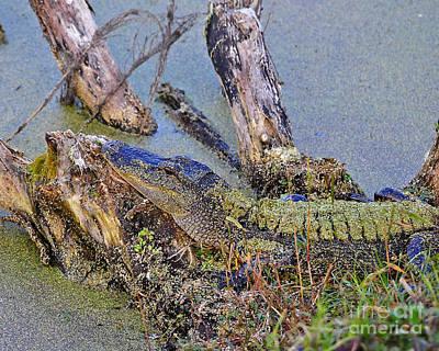 Moorhen Photograph - Gator Camo by Al Powell Photography USA