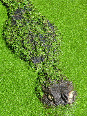 Gator In Green Original by Greg Patzer