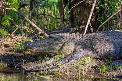 Alligator Bayou Photograph - Gator by Steve Harrington