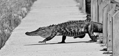 Crocodile Digital Art - Gator Walking by Cynthia Guinn