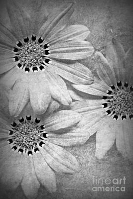 Black And White Photograph - Gazania In Black And White by Clare Bevan