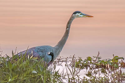 Gbh  Stalking Print by Donnie Smith