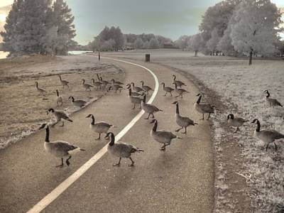 Goose Photograph - Geese Crossing by Jane Linders
