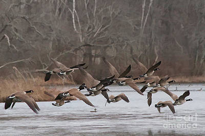 Geese Digital Art - Geese In Flight by Heidi Piccerelli