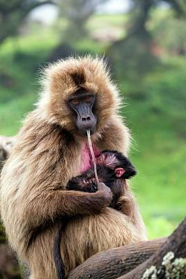 Gelada Baboon Eating Her Placenta Print by Peter J. Raymond