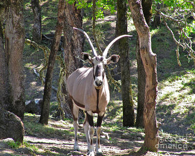 Black Photograph - Gemsbok In The Woods by CML Brown