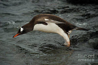 Antartica Photograph - Gentoo Penguin Diving by John Shaw