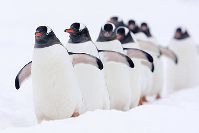 Penguin Photograph - Gentoo Penguins In Line Cuverville by Alex Huizinga