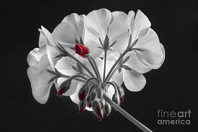 Geranium Flower In Progress  Print by James BO  Insogna