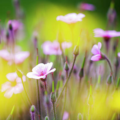 Lilac Photograph - Geranium by Heiko Koehrer-Wagner