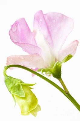 Geranium Pink Print by Anne Gilbert