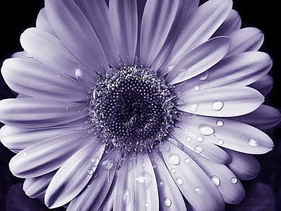 Gerber Daisy Photograph - Raindrops Gerber Daisy Flower Purple by Jennie Marie Schell