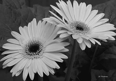 Black_white Photograph - Gerbera Daisies by James C Thomas