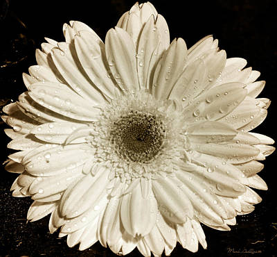 Soft Digital Art - Gerbera Daisy by Mark Ashkenazi