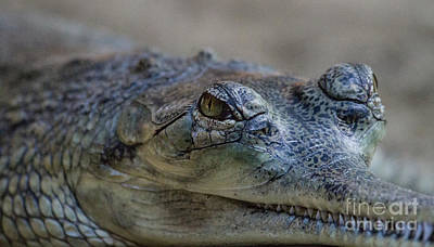 Gharial Smile Print by Ruth Jolly